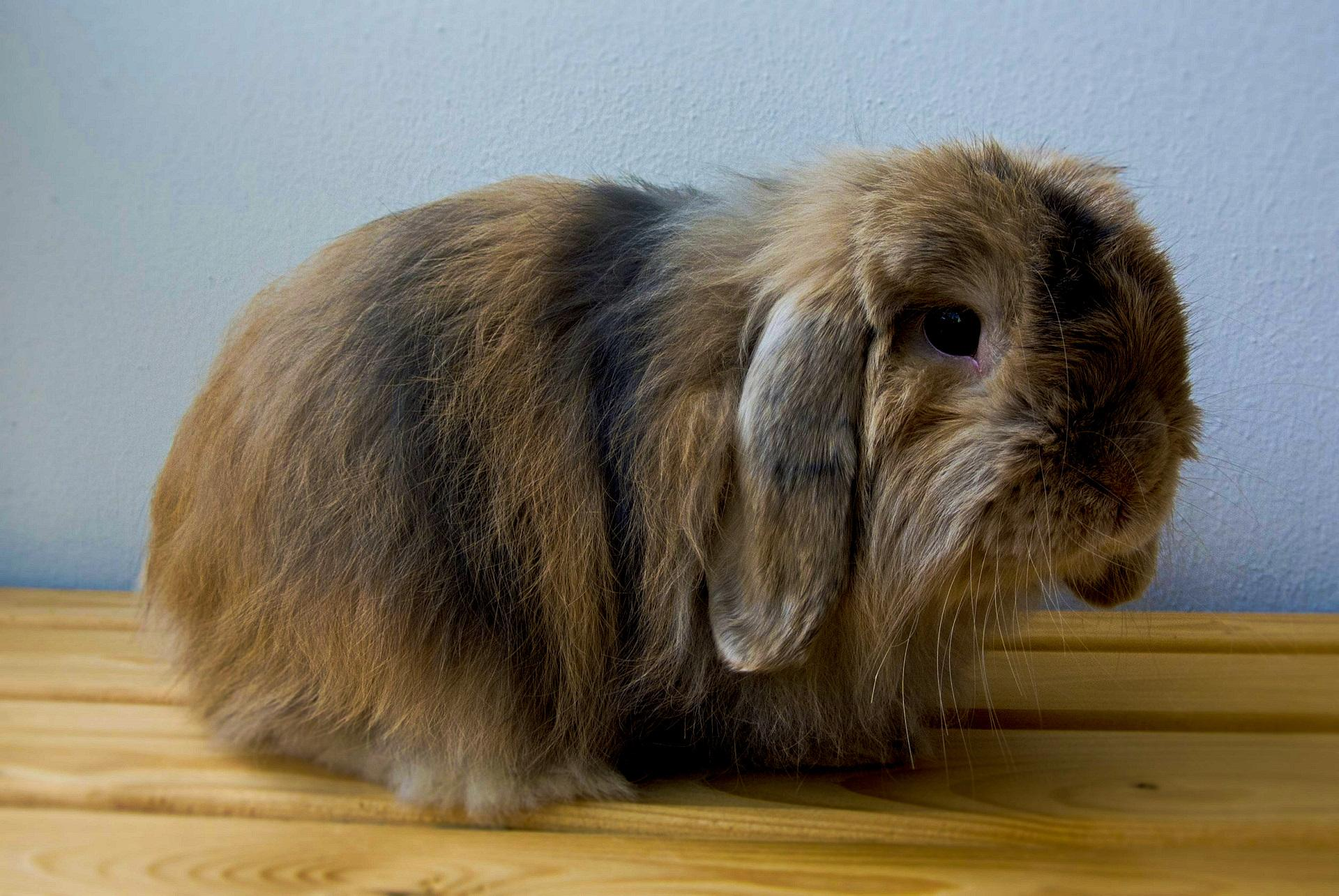 Cashmere lop rabbit breed