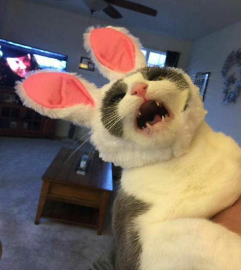 Cat rabbit