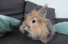 Cute Angora rabbit sitting in a sofa