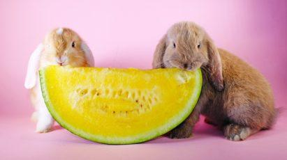 Cute rabbits eating melon