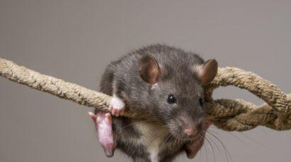 Cute rat climbing on a rope