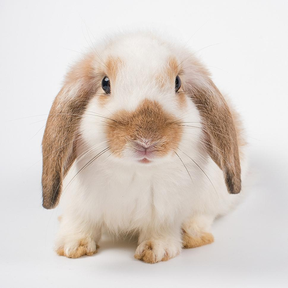 French lop rabbit breed