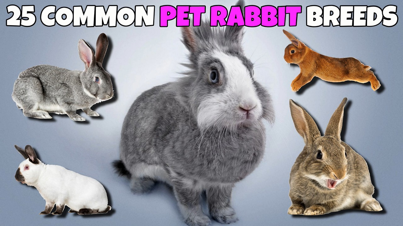 25 Rabbit Breeds With Pictures From Dwarf Rabbits To Giants