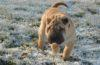 Cute Shar Pei dog outdoors